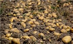 هنوز با مقصران امحای ۱۷۰۰ تن سیبزمینی برخورد نشده است/راه حل آمریکایی برای تنظیم بازار اسلامی