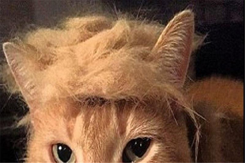 گربههایی با مدل موی نامزد جمهوریخواه آمریکا + تصاویر