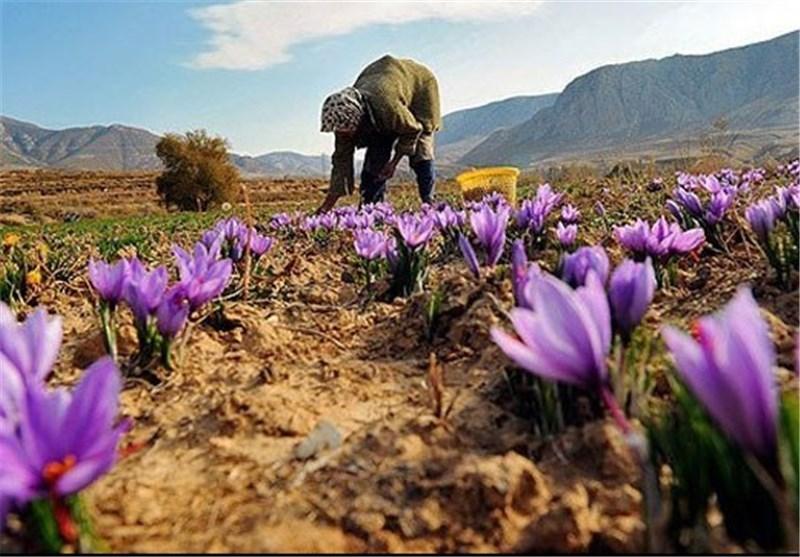 صادرات زعفران به علت نوسانات بازار ۳۰ درصد کاهش یافت