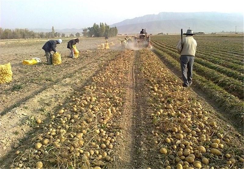 برداشت تدریجی سیبزمینی در اردبیل آغاز شد/نگرانی کشاورزان از قصه تلخ نرخ پایین سیبزمینی