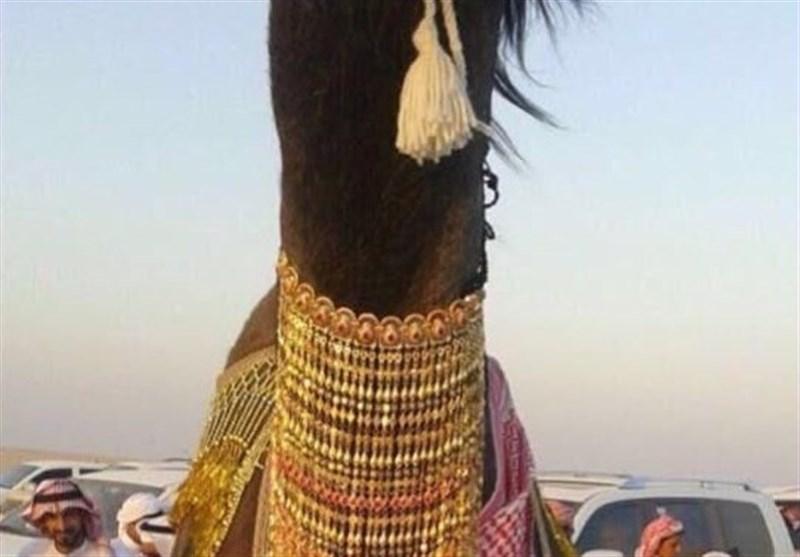 جوانان عربستان و آرزوی ازدواج با شتر + عکس