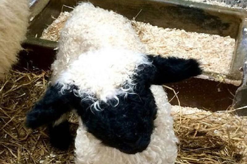 عجیبترین نژاد گوسفندان +عکس