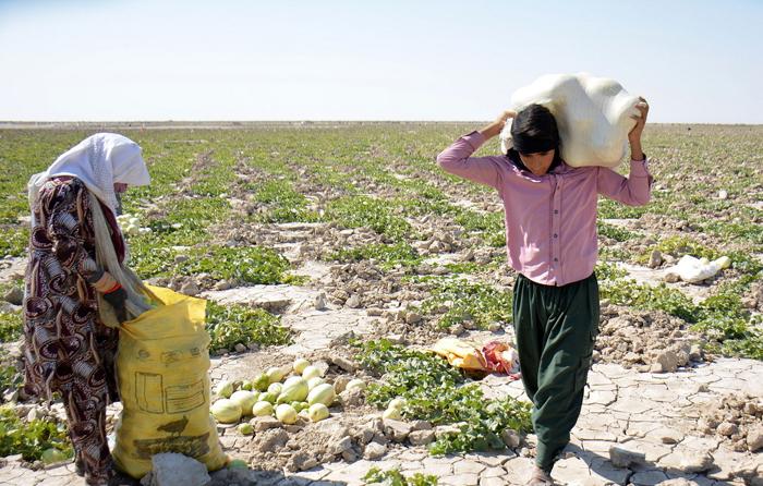 (تصاویر) استفاده بهینه از خشکسالی در هامون!