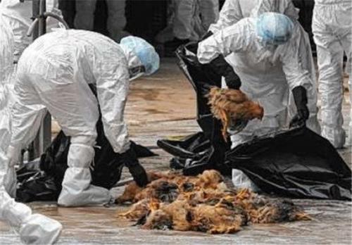 شیوع مجدد آنفلوآنزای پرندگان در شمال ایران
