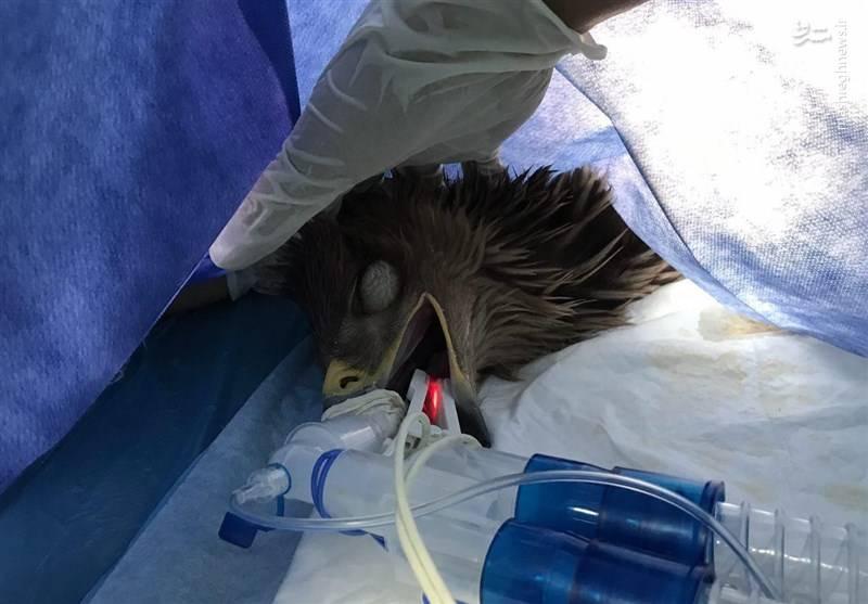 اولین عمل جراحی عقاب در ایران +عکس