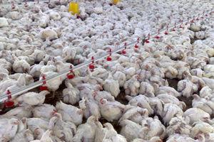 آوار آنفلوانزای پرندگان برصنعت مرغداری