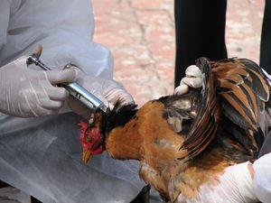 انتقال آنفلوانزای جدید پرندگان به انسان در کیش