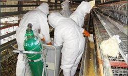 عدم سرایت آنفلوآنزای پرندگان به انسان در ایران
