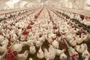 تصمیم جدید دولت باعث گرانی مرغ میشود؟