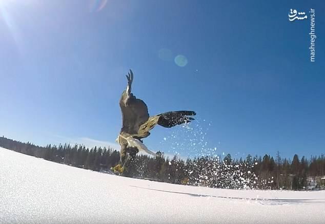 تصاویر خیره کننده از لحظه شکار یک عقاب