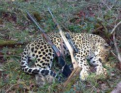 جریمه شکار پلنگ ایرانی افزایش یافت