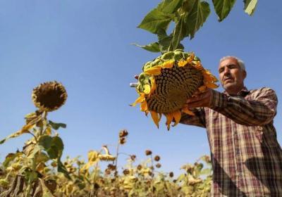 فصل برداشت گل آفتابگردان+گزارش تصویری
