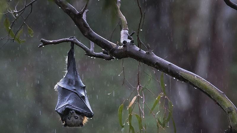 ریزش دسته جمعی خفاشها از آسمان+عکس