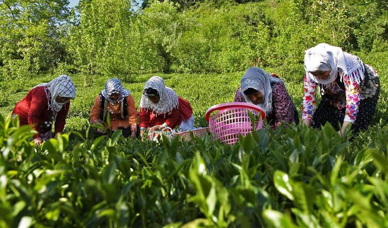 نرخ انواع چای ایرانی درجه یک در بازار +جدول