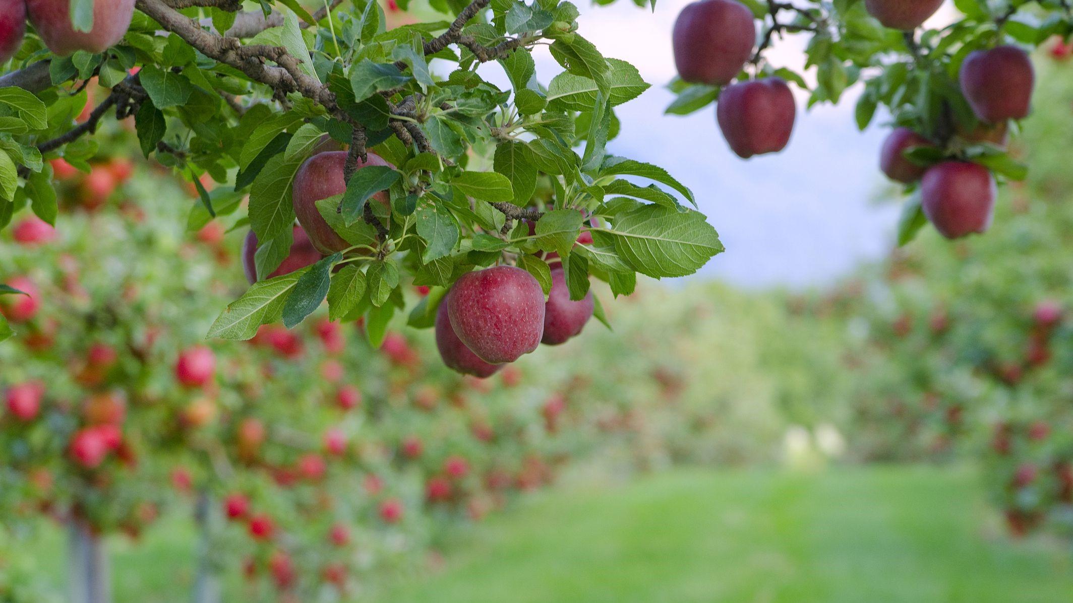 تولید ۳ میلیون و ۲۰۰ تا ۴۰۰ هزار تن سیب در سال جاری