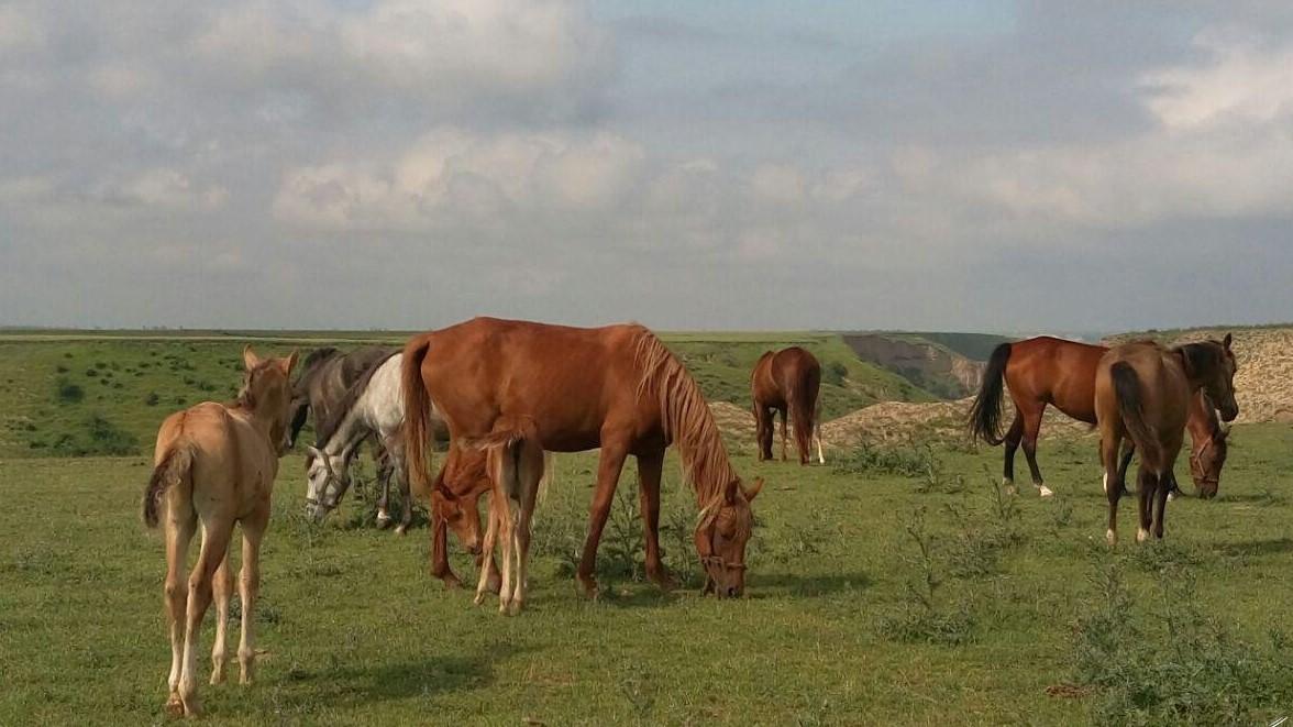 اسب مولد نژاد خالص، و چند ردیف کالایی دیگ رفع ممنوعیت صادرات شدند