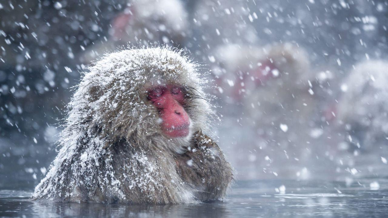 میمونهایی که دوست ندارند روی زمینهای برفی راه بروند+فیلم