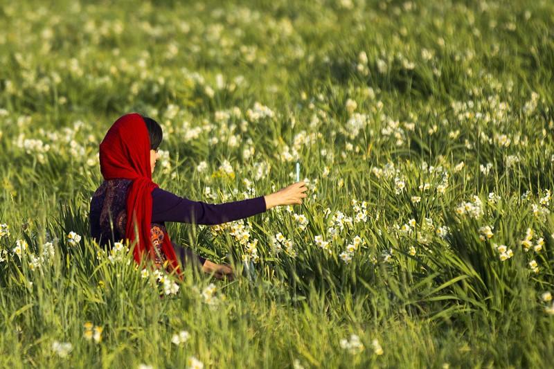 دشت نرگس در فصل زمستان+عکسها
