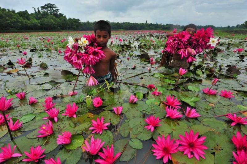 مناطق طبیعی بکر تالابهای نیلوفر آبی بنگلادش+تصاویر
