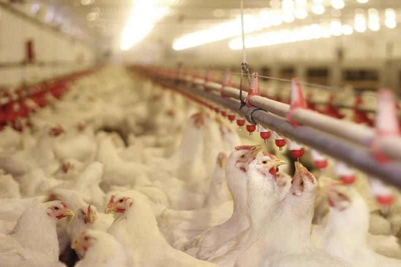 آزادسازی حمل و نقل مرغ کشتار شده تعادل قیمت مرغ در بازار را به همراه دارد
