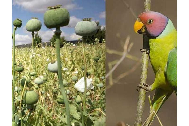 حمله طوطی ها به مزارع خشخاش در هند+فیلم