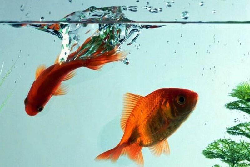 نکاتی در خصوص ماهی قرمز شب عید