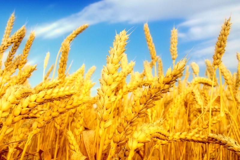 دولت باید قیمت گندم را منطقی و به موقع اعلام کند