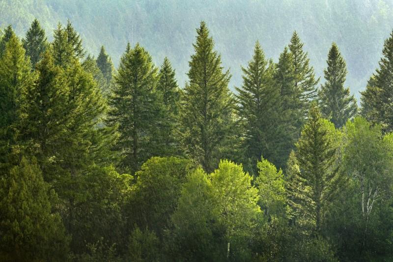 درختان کاج در تهران شهروندان را افسرده می کند؟