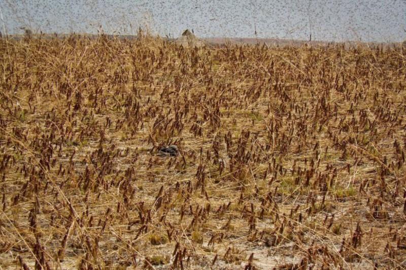 ۲۰۰ هزار هکتار زمین کشاورزی در معرض خطر حمله ملخ های صحرایی قرار دارند