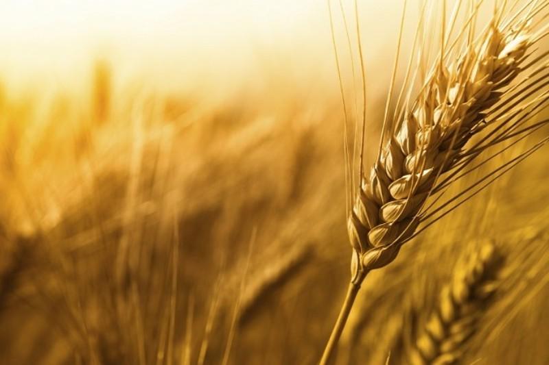 شرایط توسعه بیماری های گندم در مزارع فراهم است