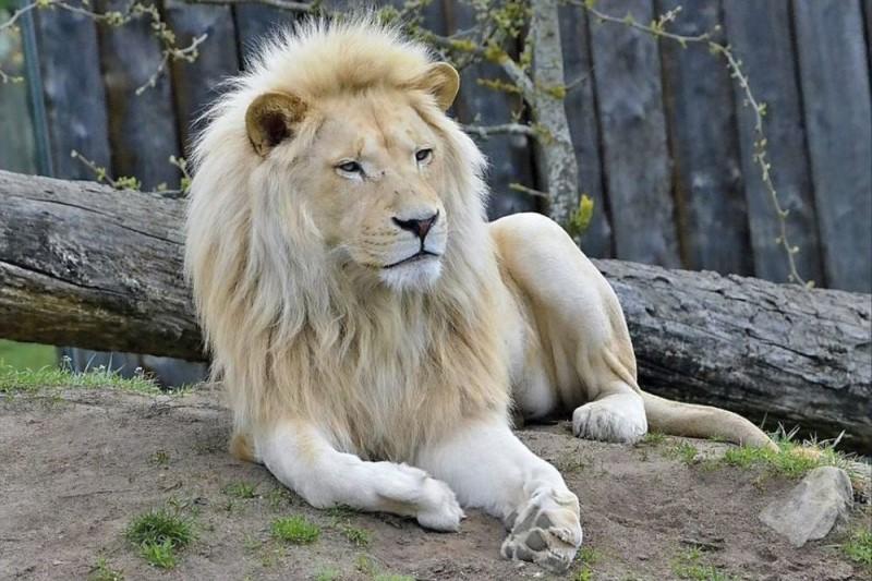 حدود ۸۰ سال است که شیر ایرانی در طبیعت ایران منقرض شده است
