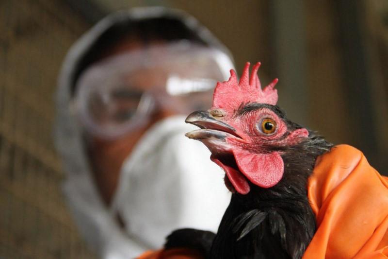 آنفلوآنزای پرندگان به انسان سرایت میکند؟