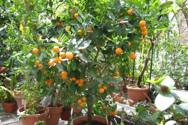 میوههایی که می توانید با دستان خودتان تنها در یک گلدان پرورش دهید+تصاویر