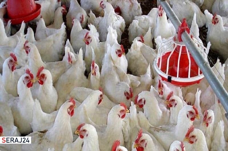 اقدامی جهادی برای افزایش ضریب خوداتکایی سیستان و بلوچستان به گوشت مرغ