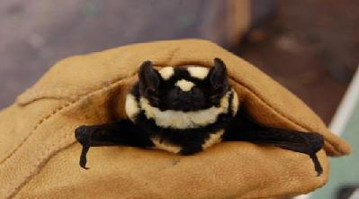 کشف نوع جدیدی خفاش در آفریقا
