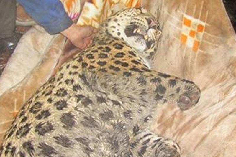 مرگ سومین پلنگ ایرانی در سال جدید